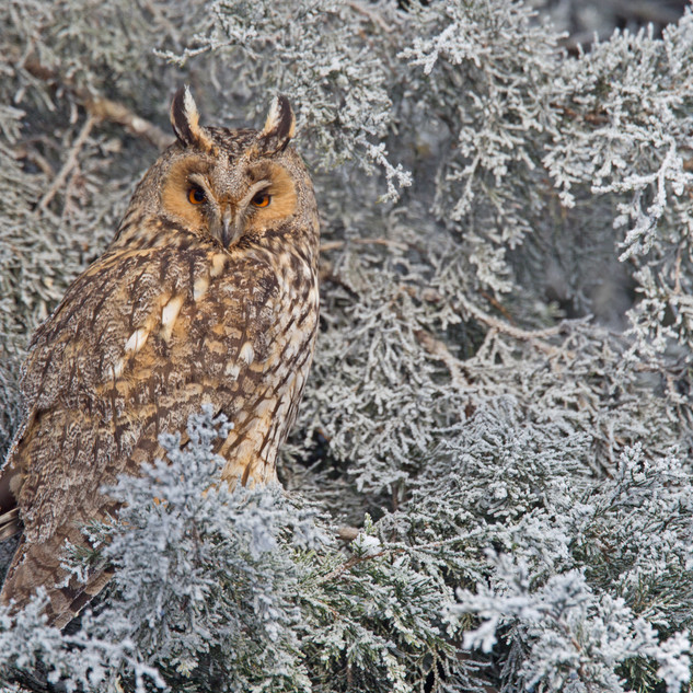 Long-eared owl on daytime roost
