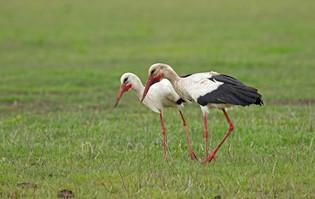 Mama and papa White Storks