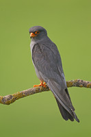 Red-footed Falcon Male