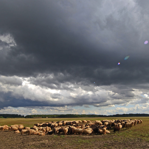 Racka sheep in summer storm