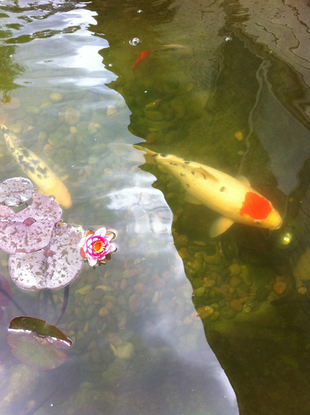 Koi-with-flower.png