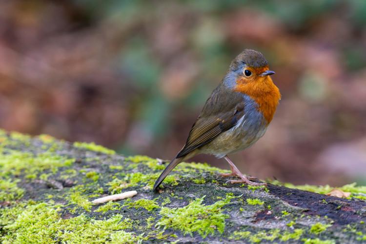 European Robin at Adel Dam Nature Reserve, Leeds, West Yorkshire