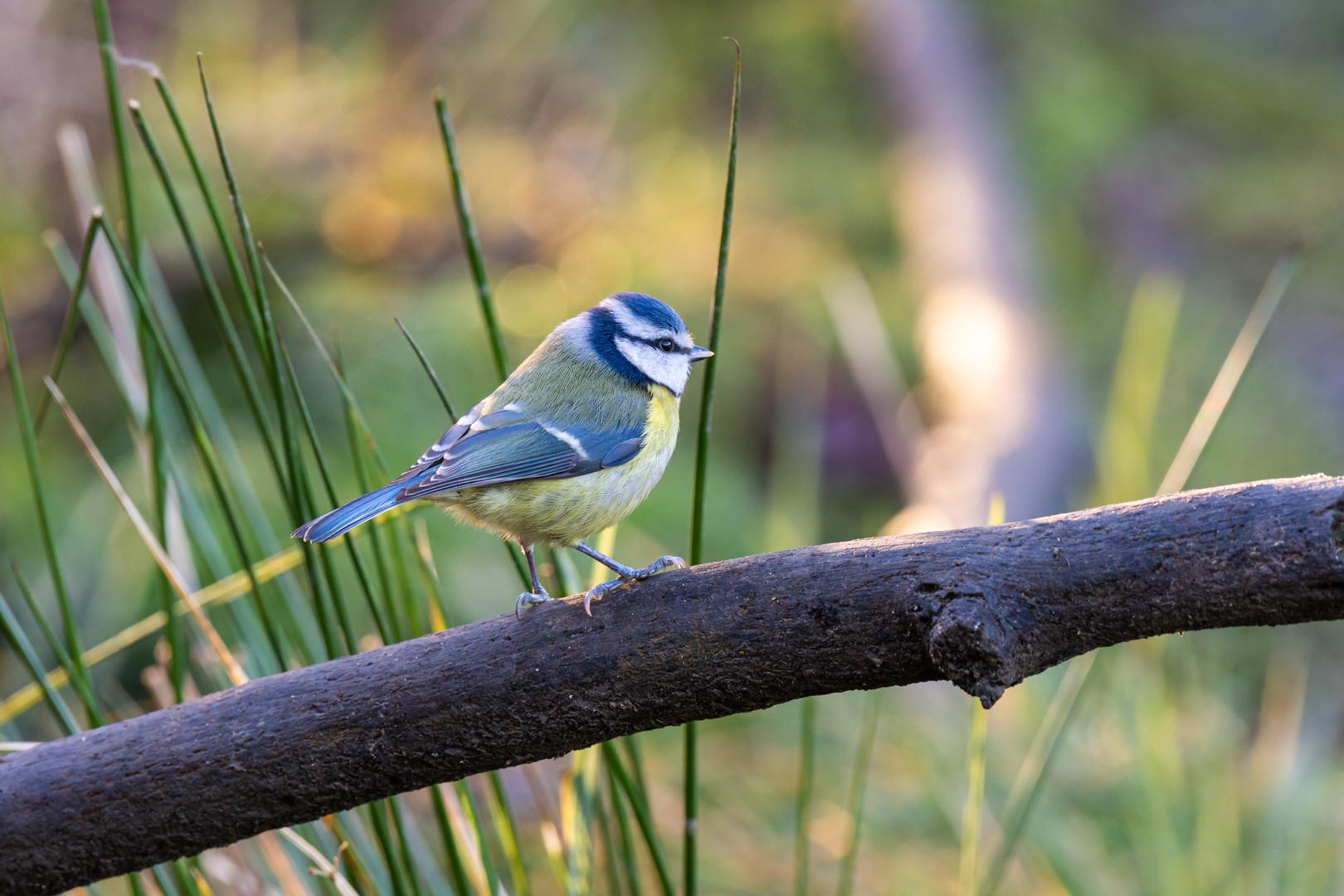 Blue Tit at Adel Dam Nature Reserve, Leeds, West Yorkshire