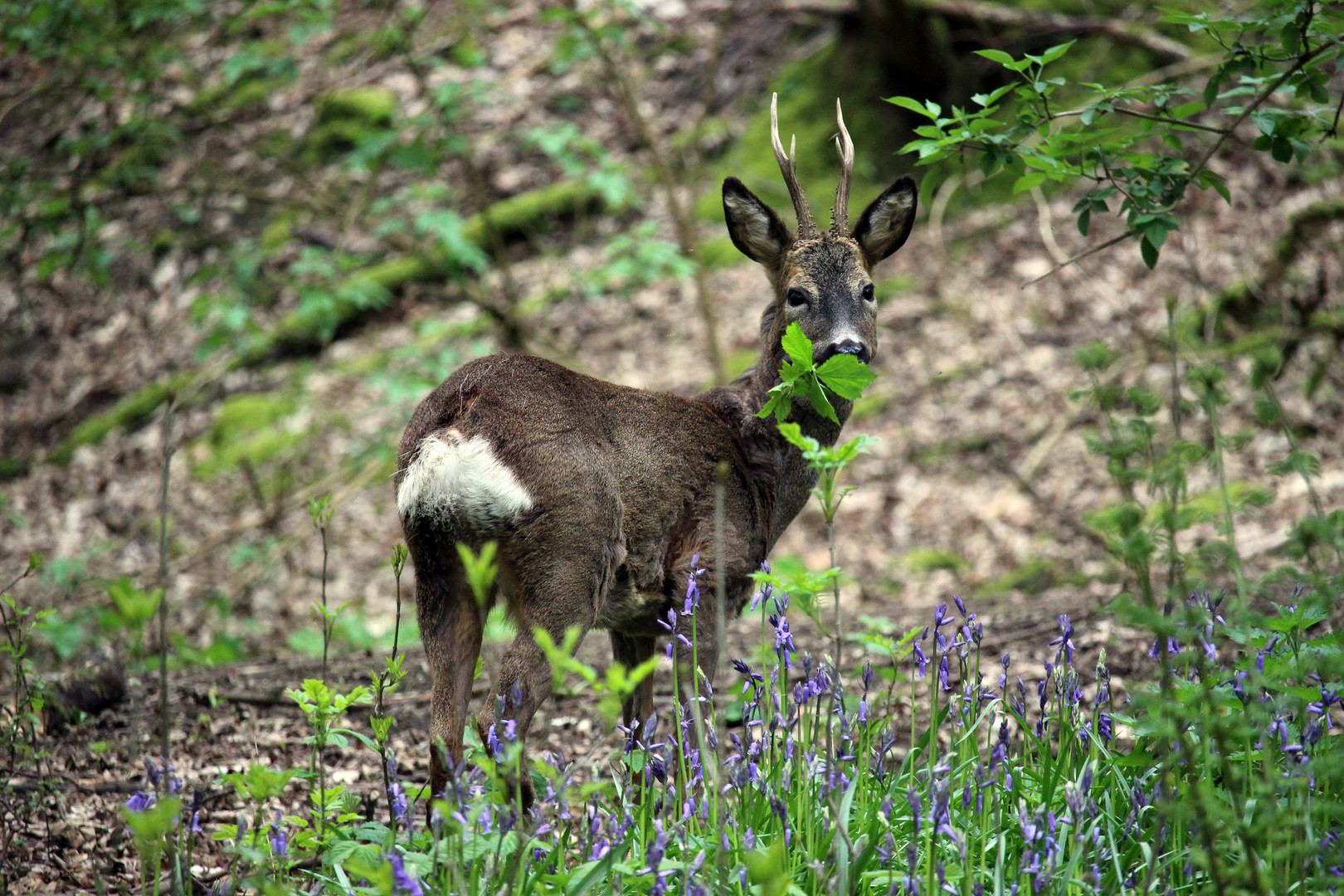 Hungry Deer at Otley Chevin Forest, Otley, West Yorkshire