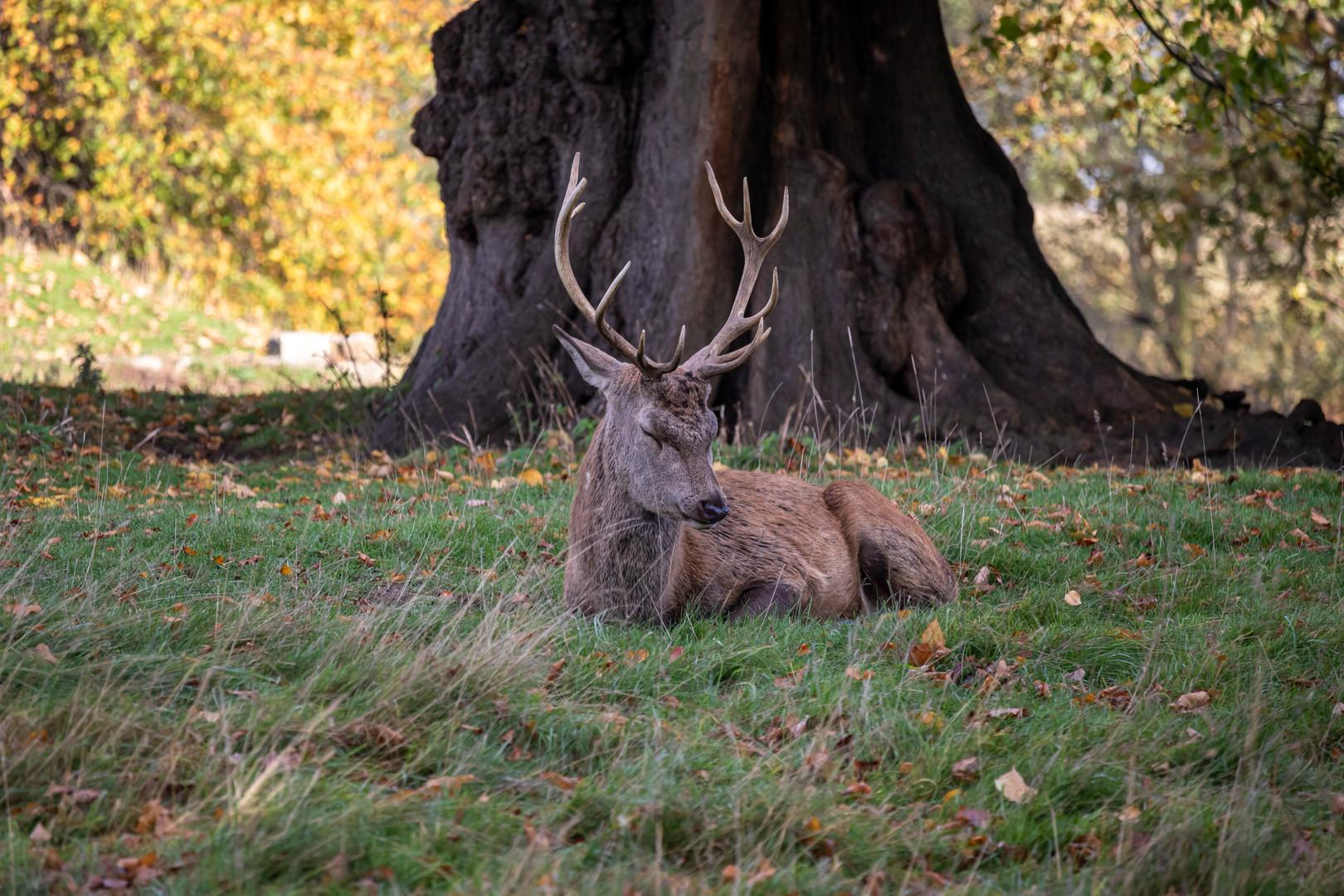 Red Deer at Studley Royal Deer Park, Ripon, North Yorkshire