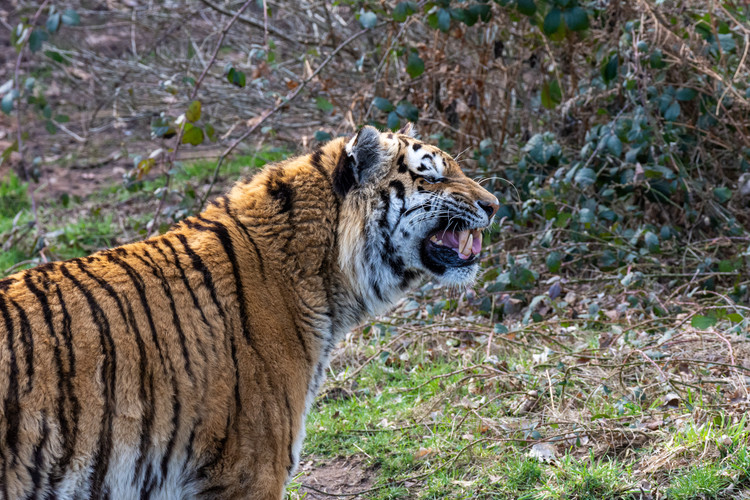 Just a Yawn from an Amur Tiger, Yorkshire Wildlife Park, England