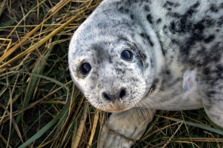 Seal Pup at Donna Nook, Lincolnshire
