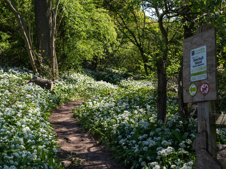 Spring Blossom at Hetchell Wood, Yorkshire