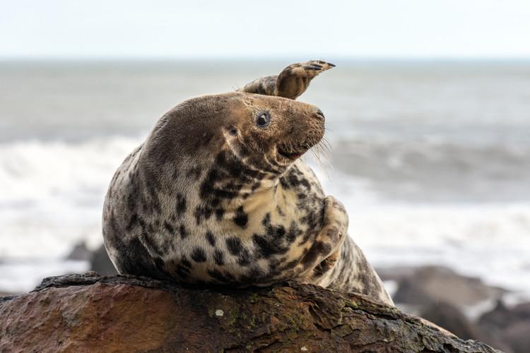 Seal Waving 'Hi!', Ravenscar, North Yorkshire