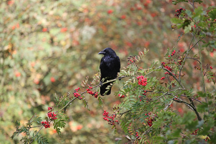 Carrion Crow at Otley Chevin Forest, Otley, West Yorkshire