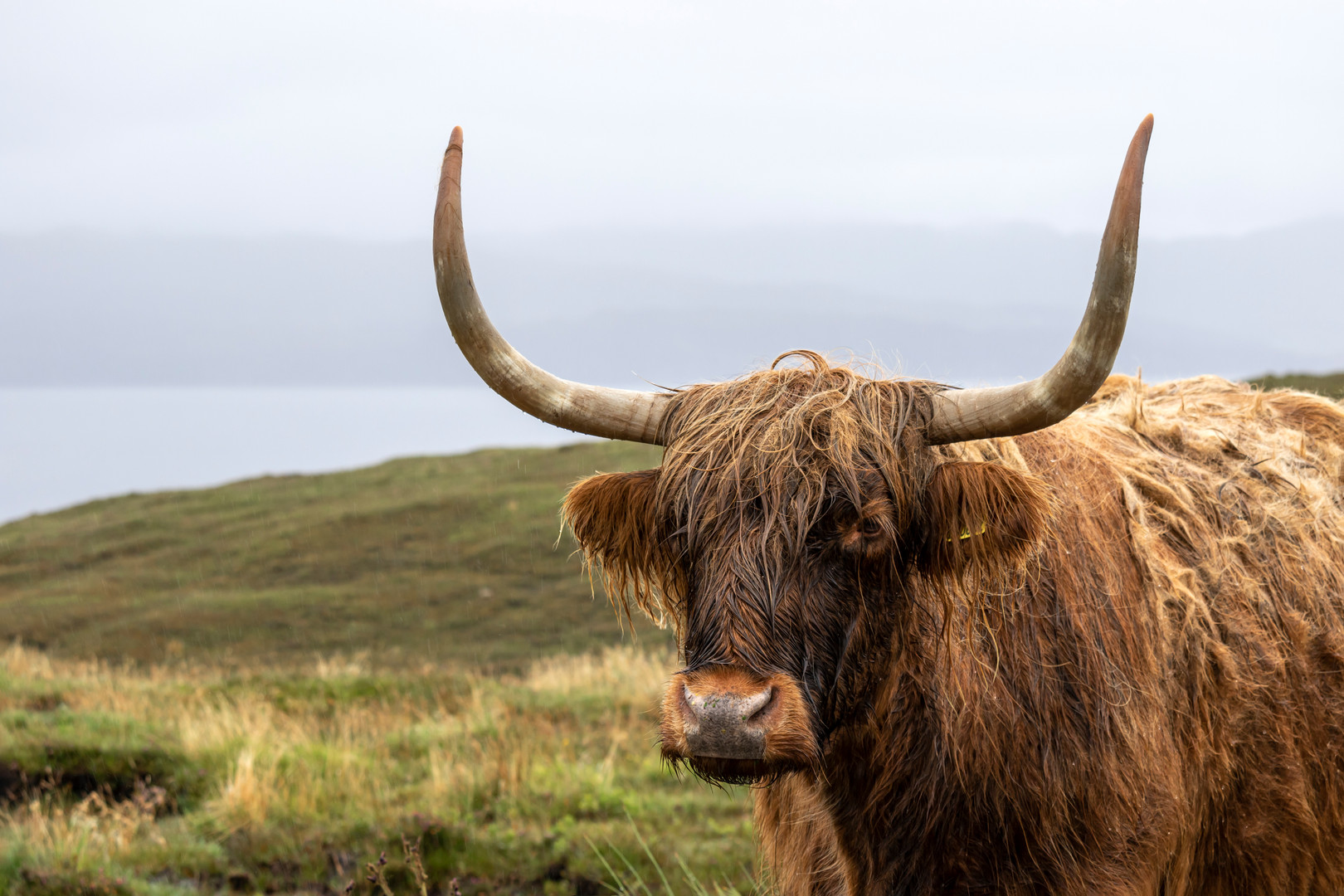 Hairy Coo in the Rain, near Elgol, Isle of Skye, Scotland
