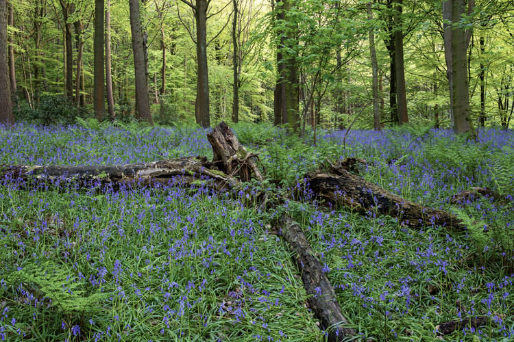 Bluebells at Otley Chevin Forest, Otley, West Yorkshire