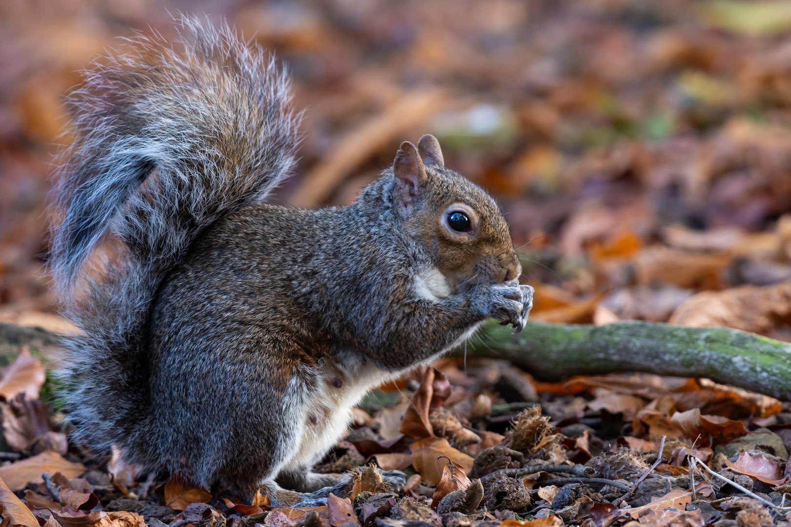 Brown Squirrel at Adel Dam Nature Reserve, Leeds, West Yorkshire