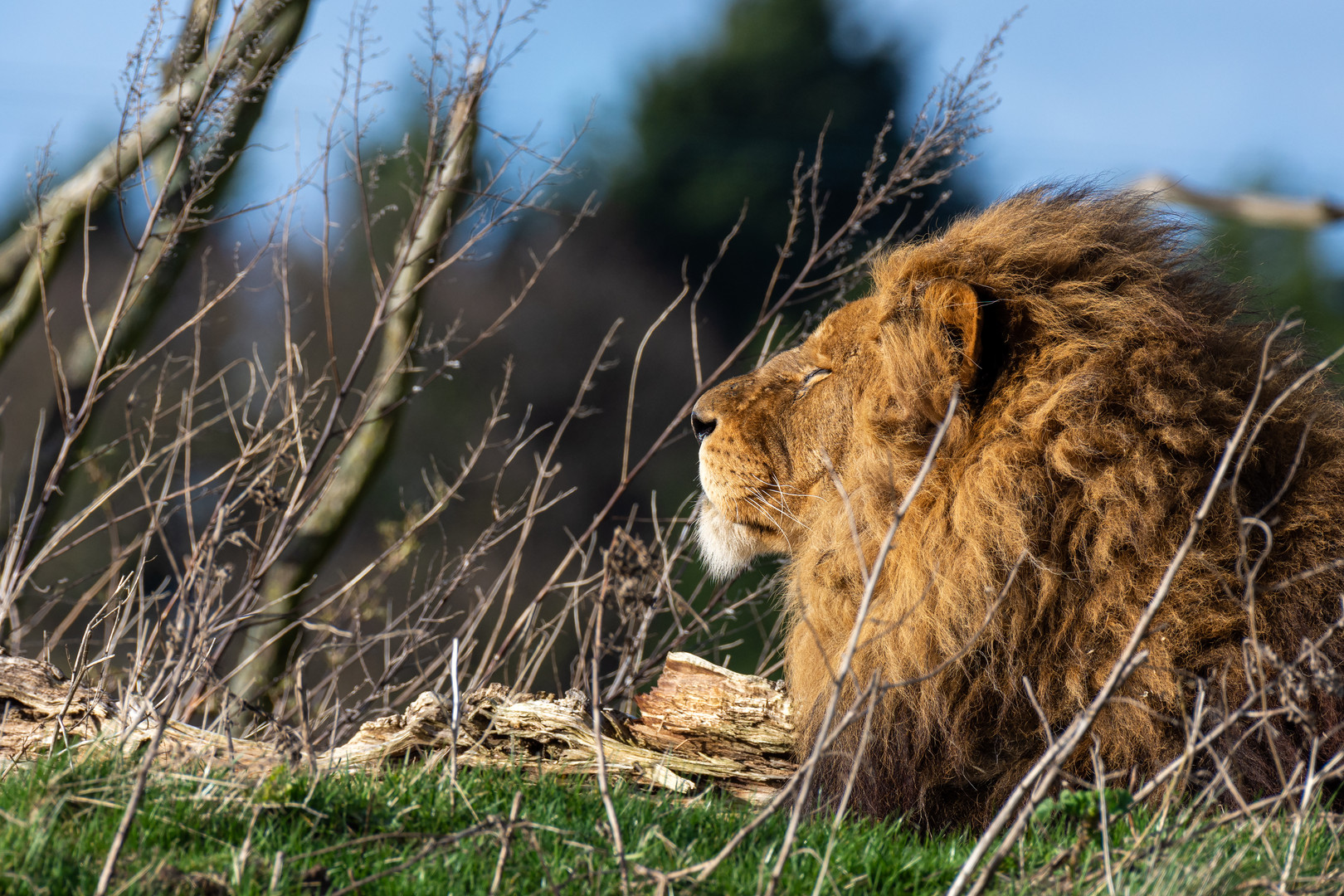 The King of the Jungle, Yorkshire Wildlife Park, England