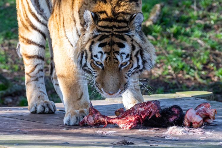 Amur Tiger Having a Quick Snack, Yorkshire Wildlife Park, England