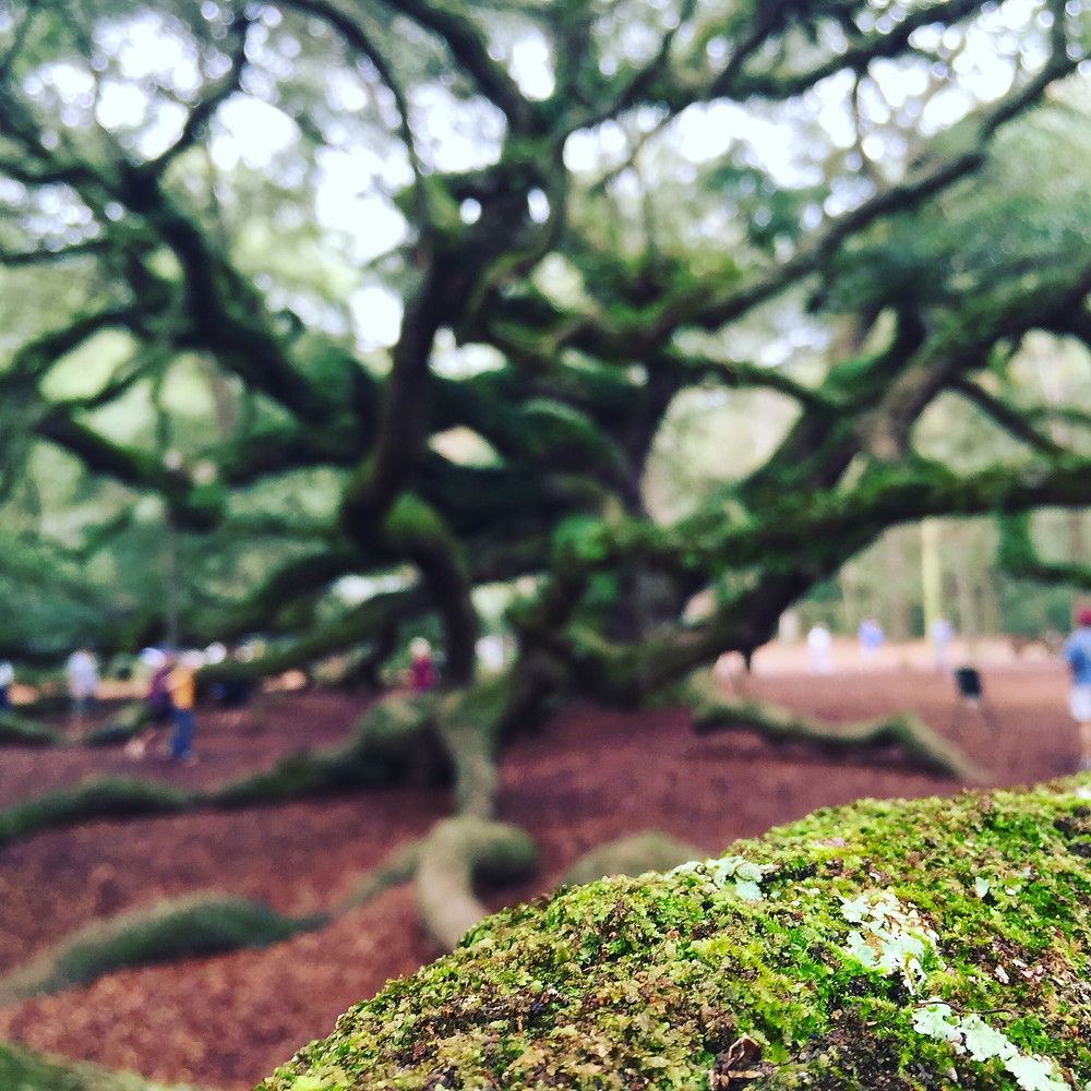 The outstretched roots and branches of the Angel Oak Tree in Johns Island, SC. As locals tell it, African slaves used to gather around this tree to talk, sing and pray.