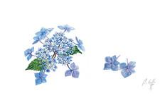 Souvenirs du jardin - L'hortensia