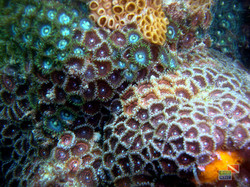corais_26105289032_o