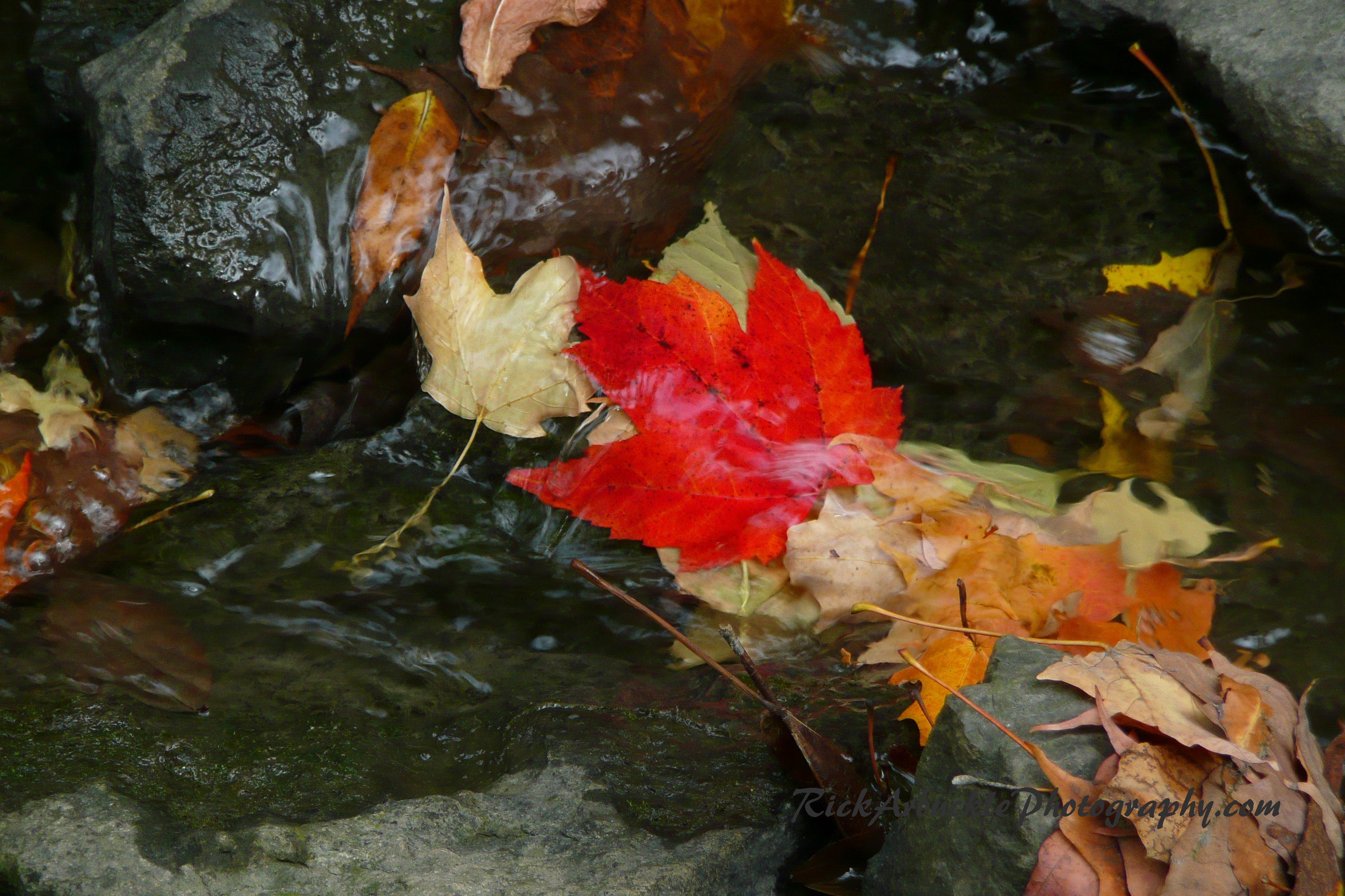 Maple Leaf In A Stream