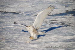 Snowy Owl On The Attack