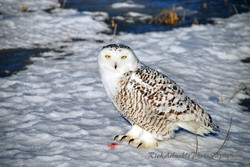 Snowy Owl At Rest