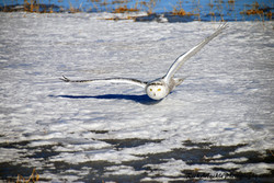 Snowy Owl Gliding Above The Snow