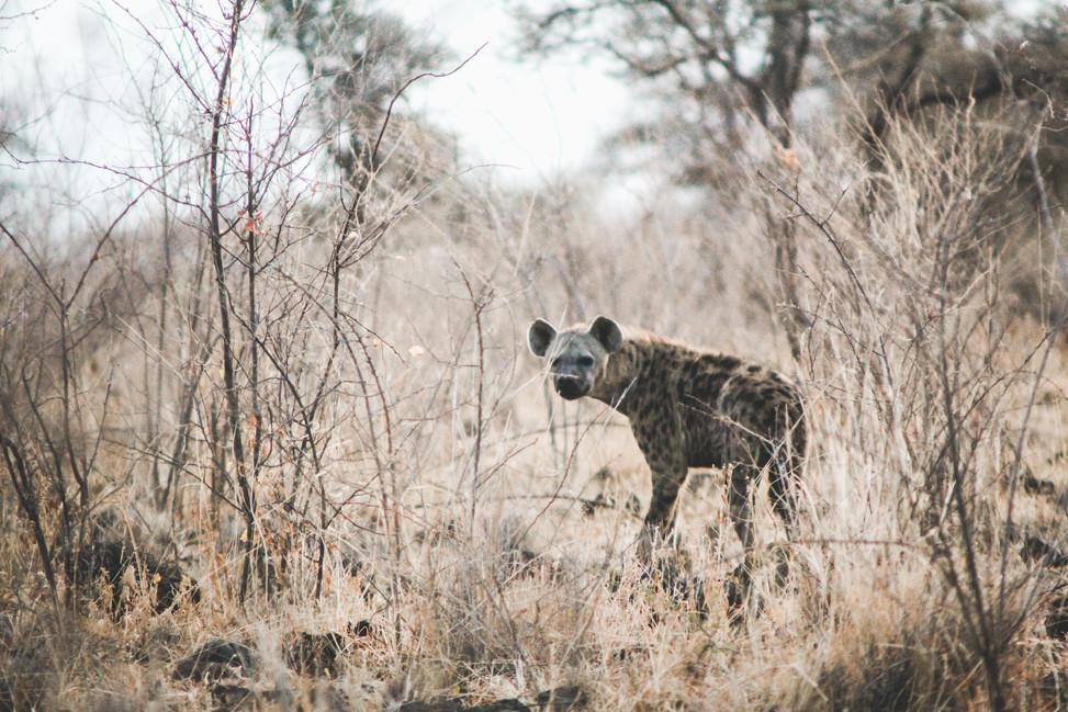 Hyena at dusk