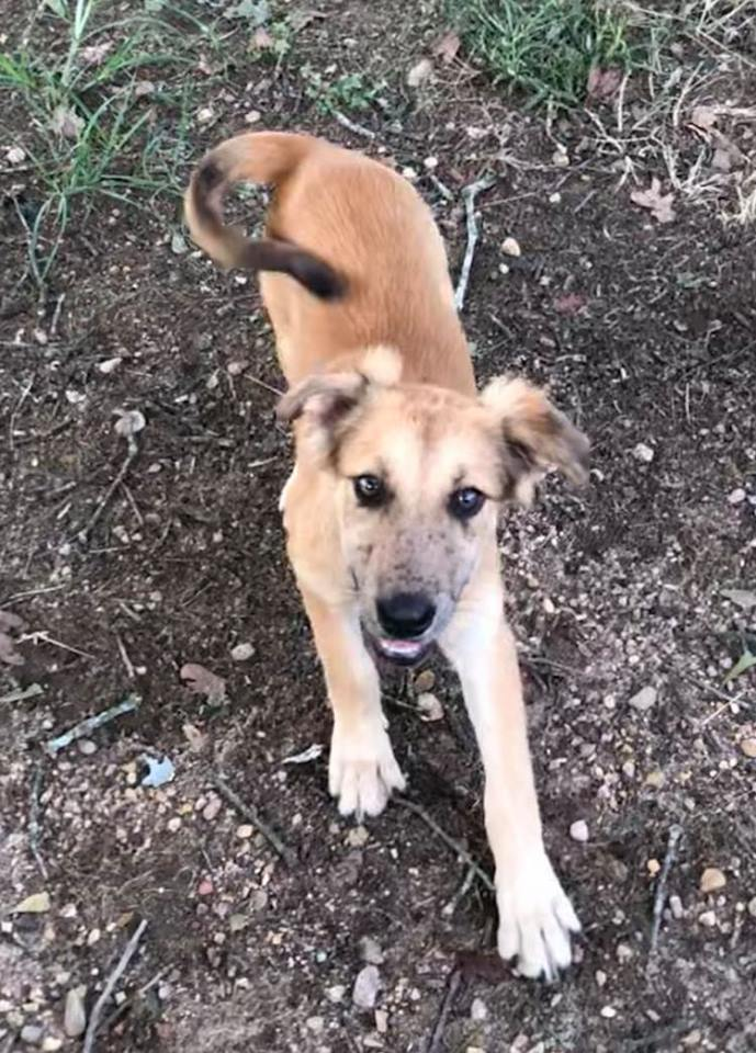 Freckles-Shepherd mix ADOPTED