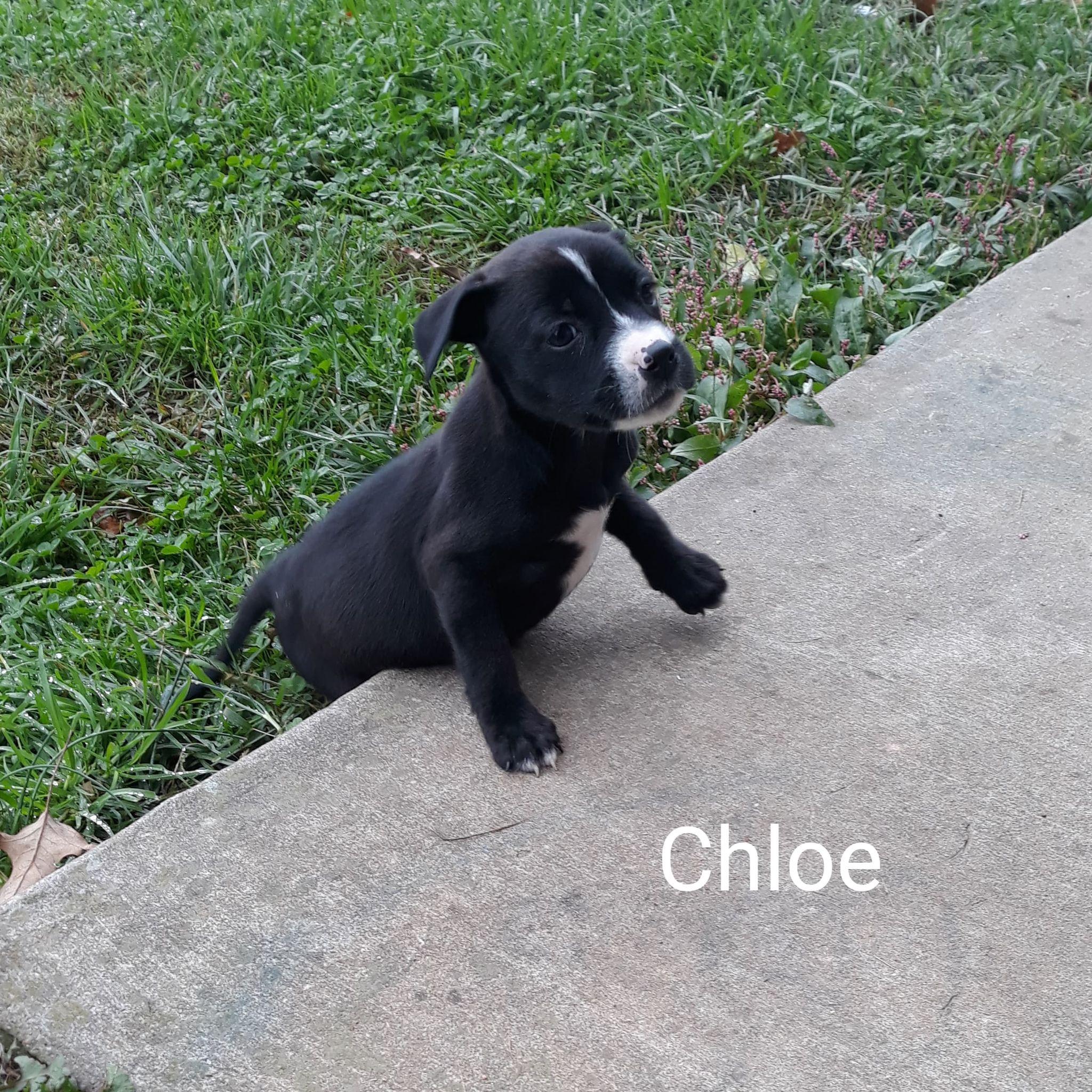 Chloe-Lab/American Pit Bull mix-female