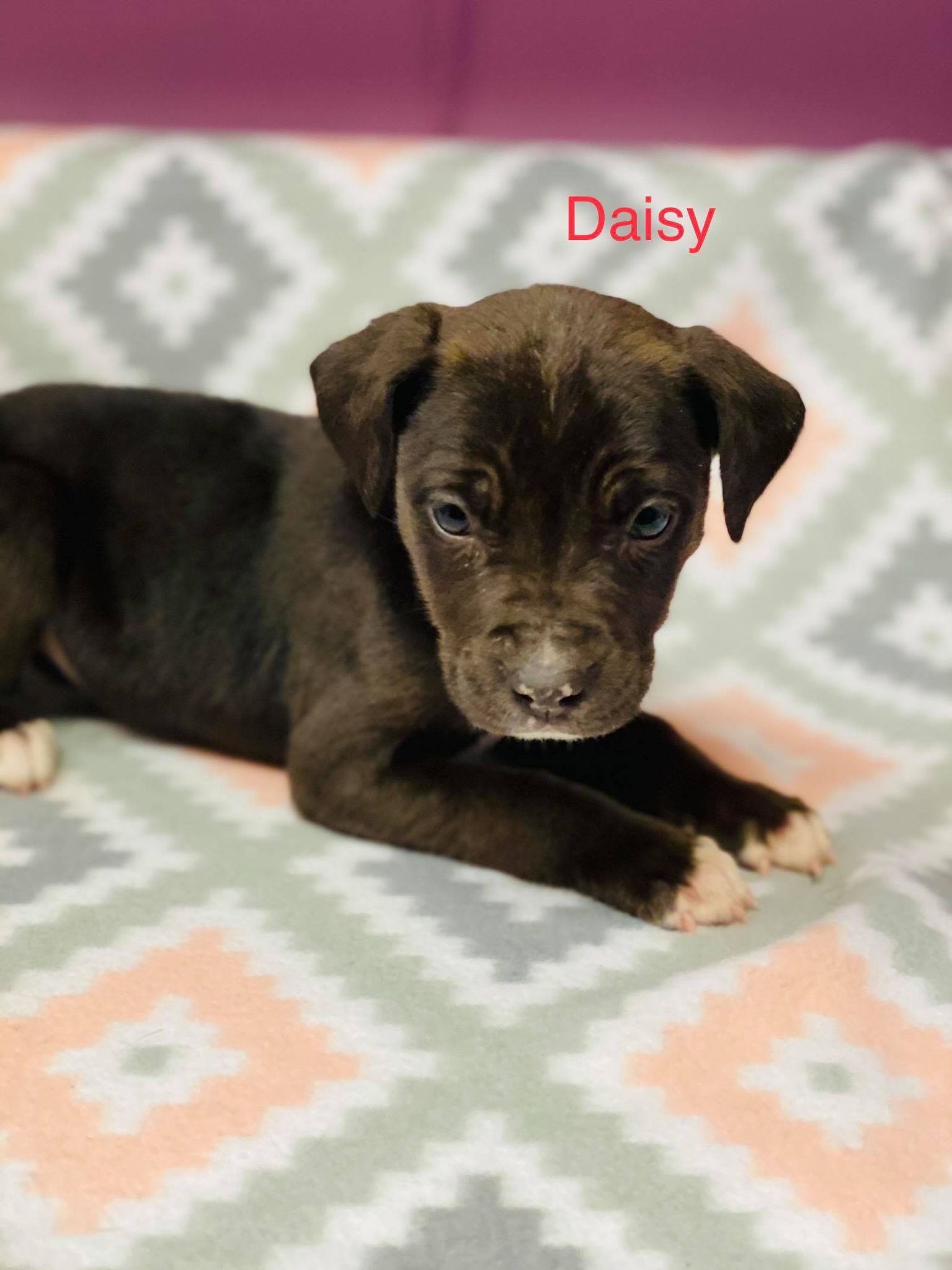 Daisy-Lab/Pit Bull Terrier ADOPTED