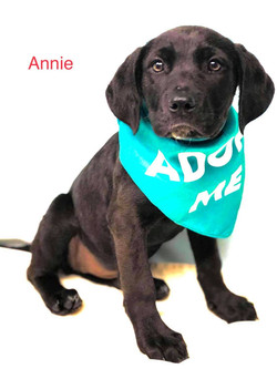 Annie-Lab mix-female