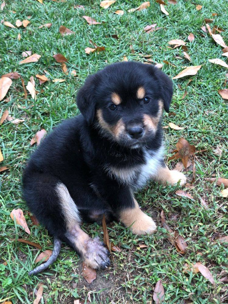 Bear-  Rottweiler mix-male