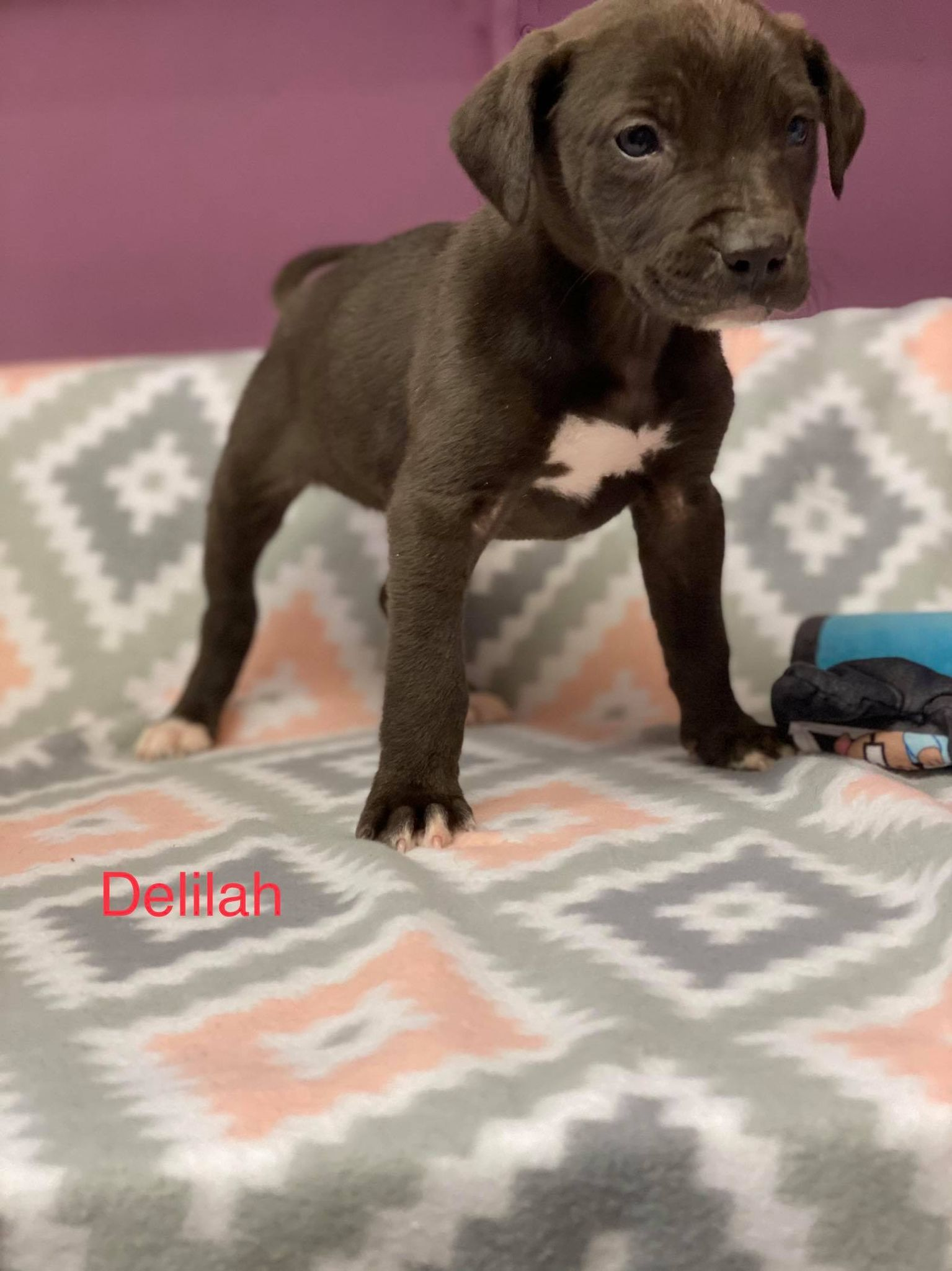 Delilah-Lab/Pit Bull Terrier  ADOPTED