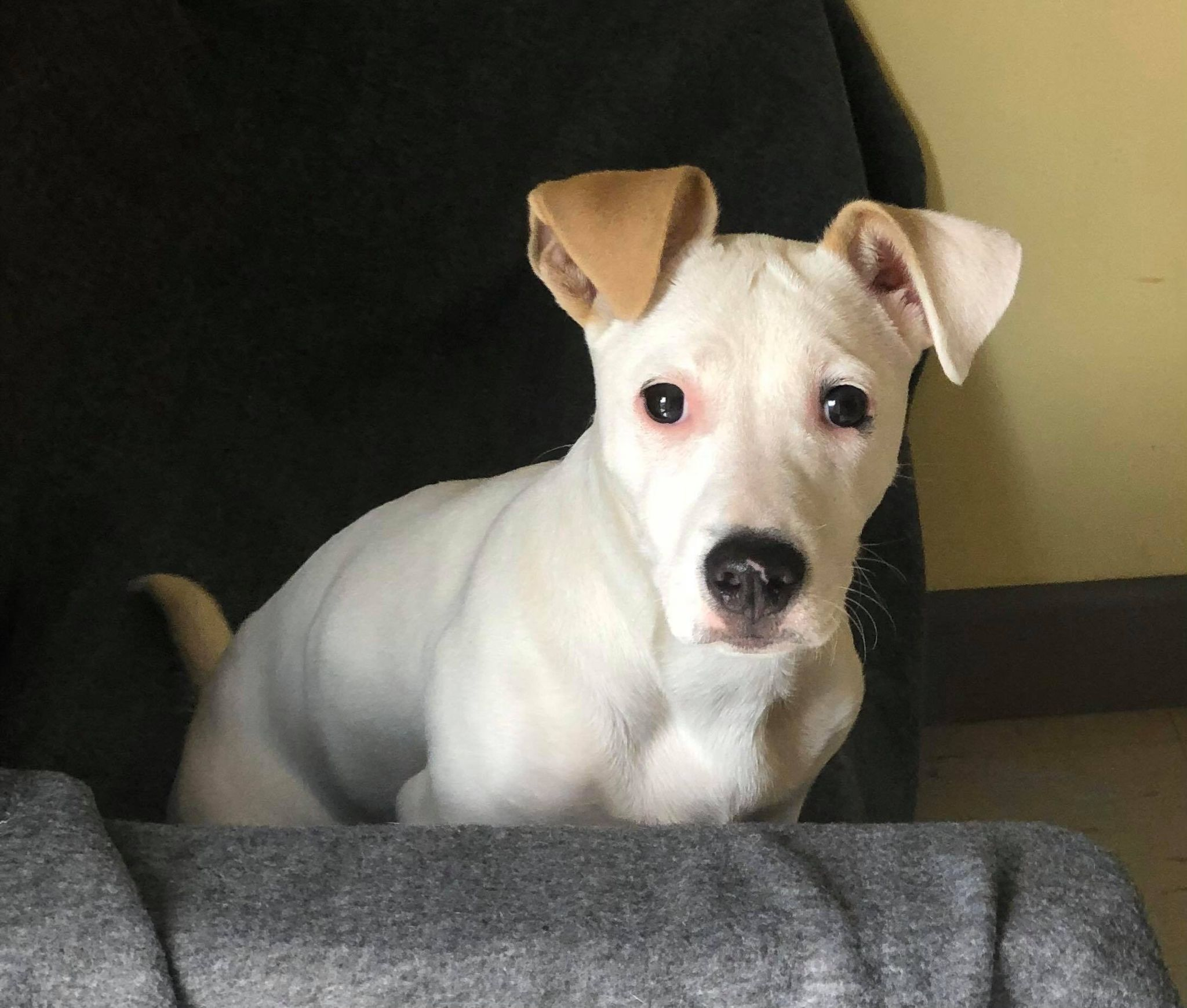 Gracie-Jack Russell/American Pit Bull-female