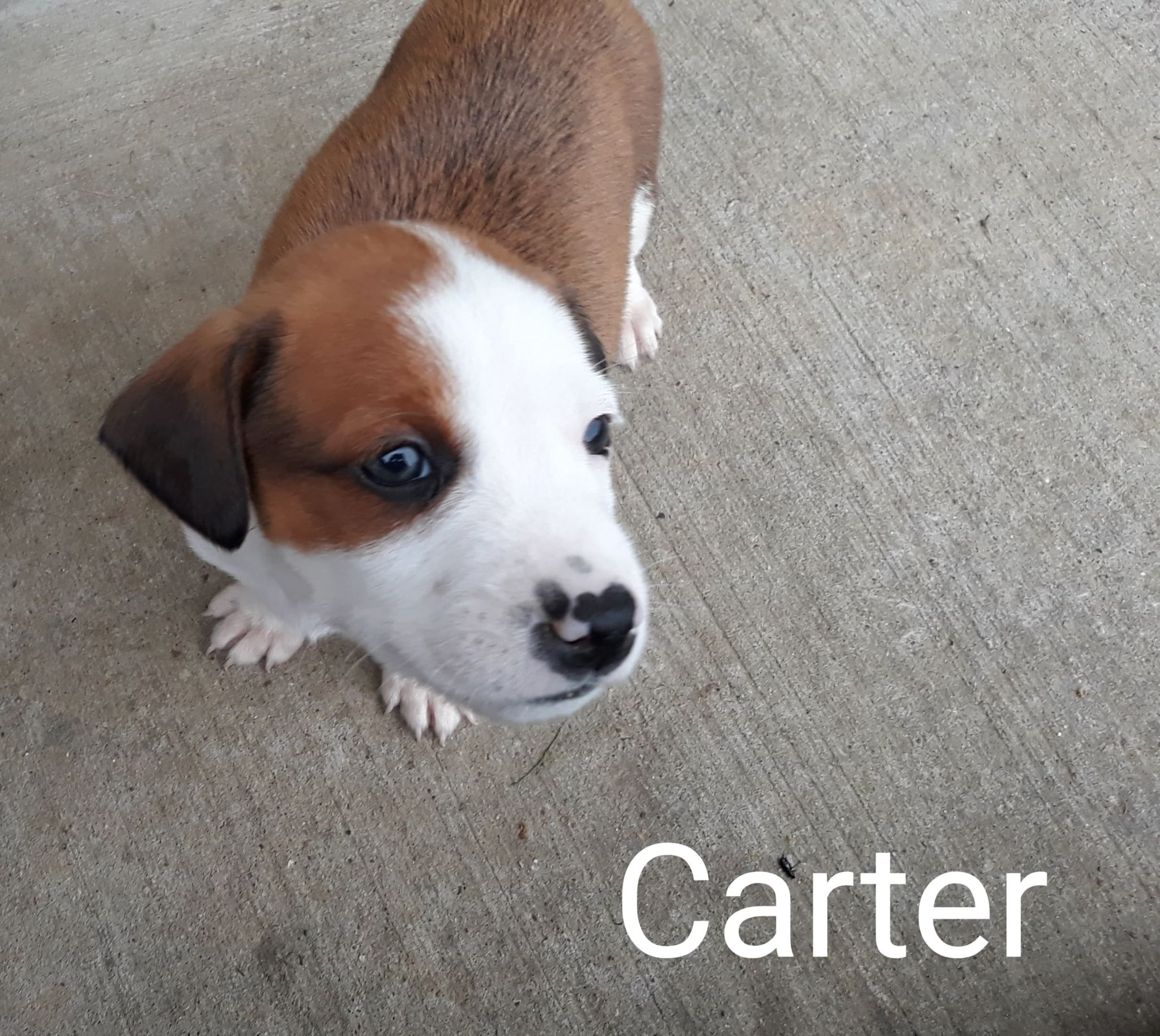 Carter-Lab/American Pit Bull mix-male