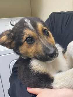 Clark-German Shepherd/Collie mix-male