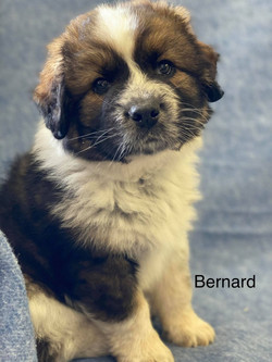 Bernard-Australian Shepherd mix-male