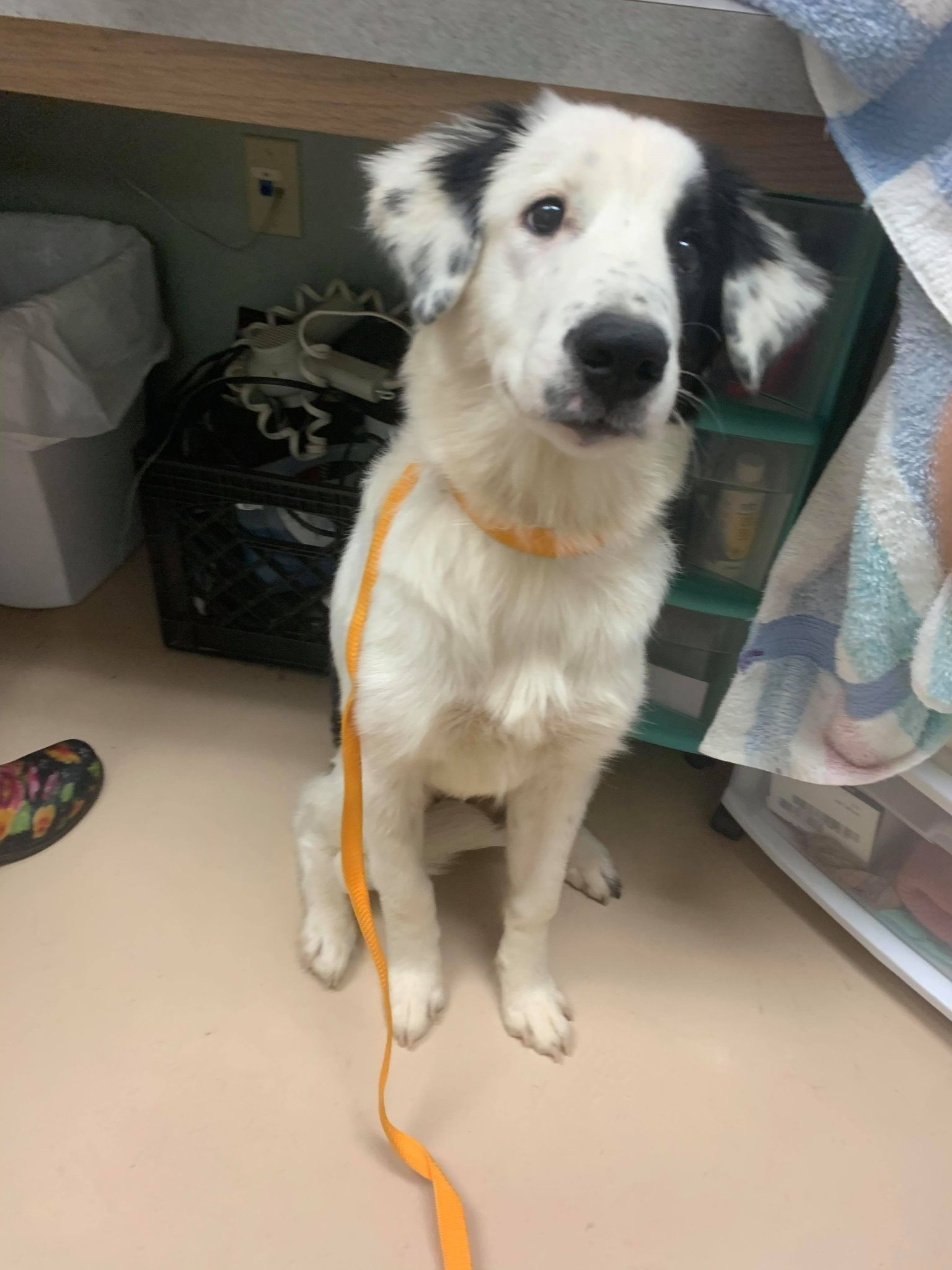 Petra-Border Collie mix-female