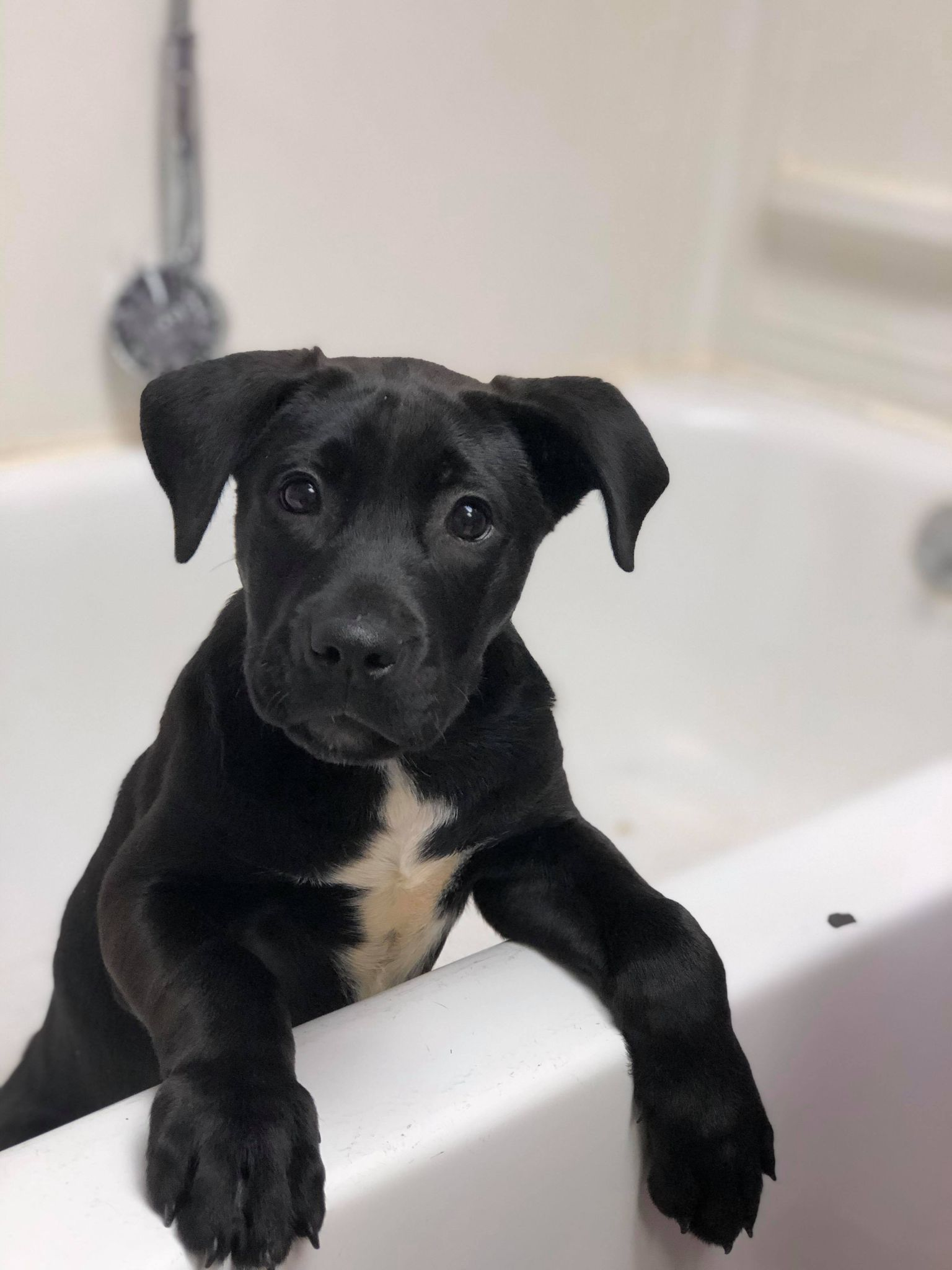Duffy-Lab mix-male  PENDING
