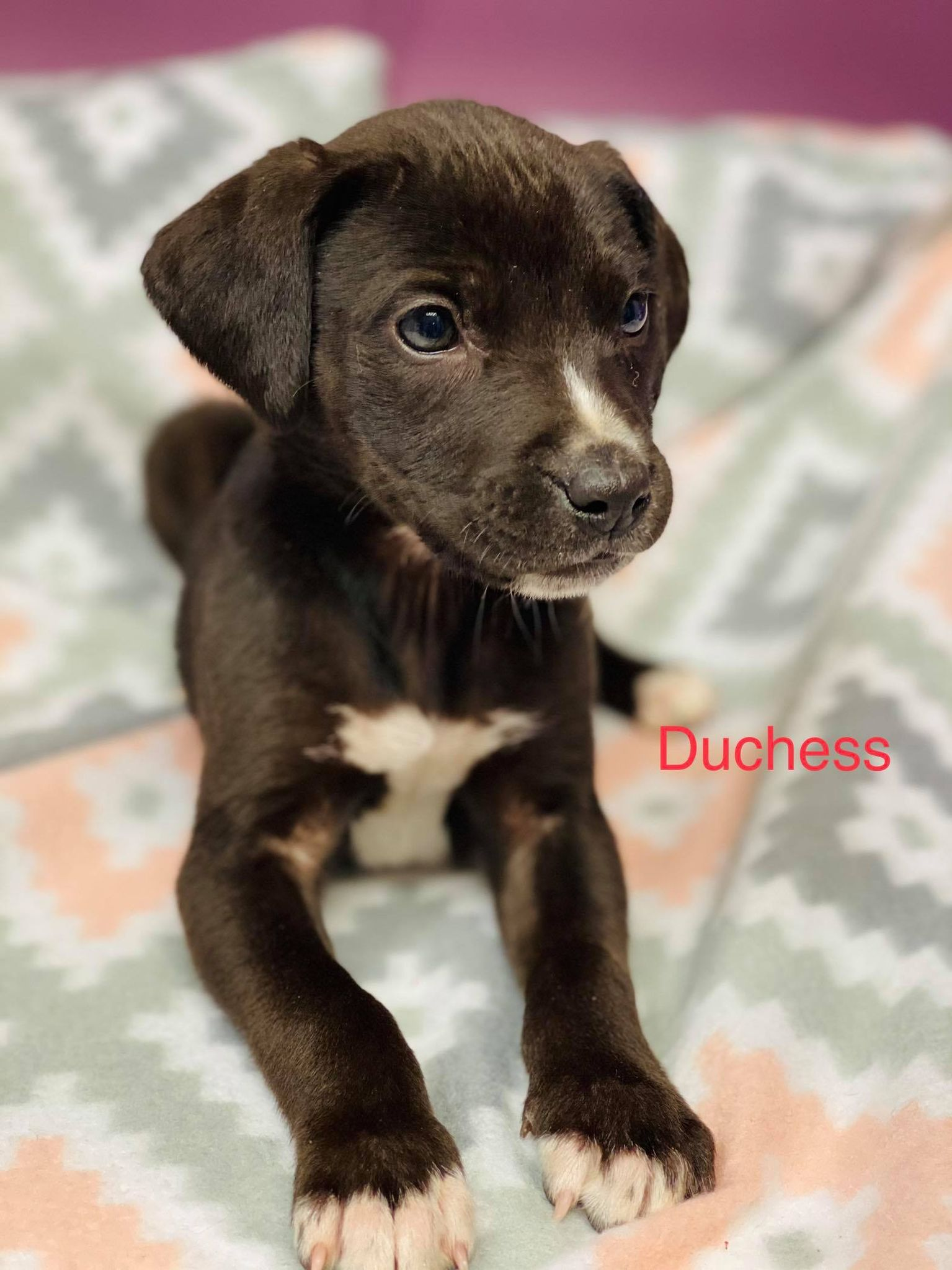 Duchess-Lab/Pit Bull ADOPTED