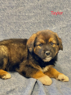 Taylor-Australian Shepherd mix-male