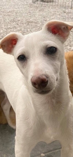 Pearl2-Whippet mix-female