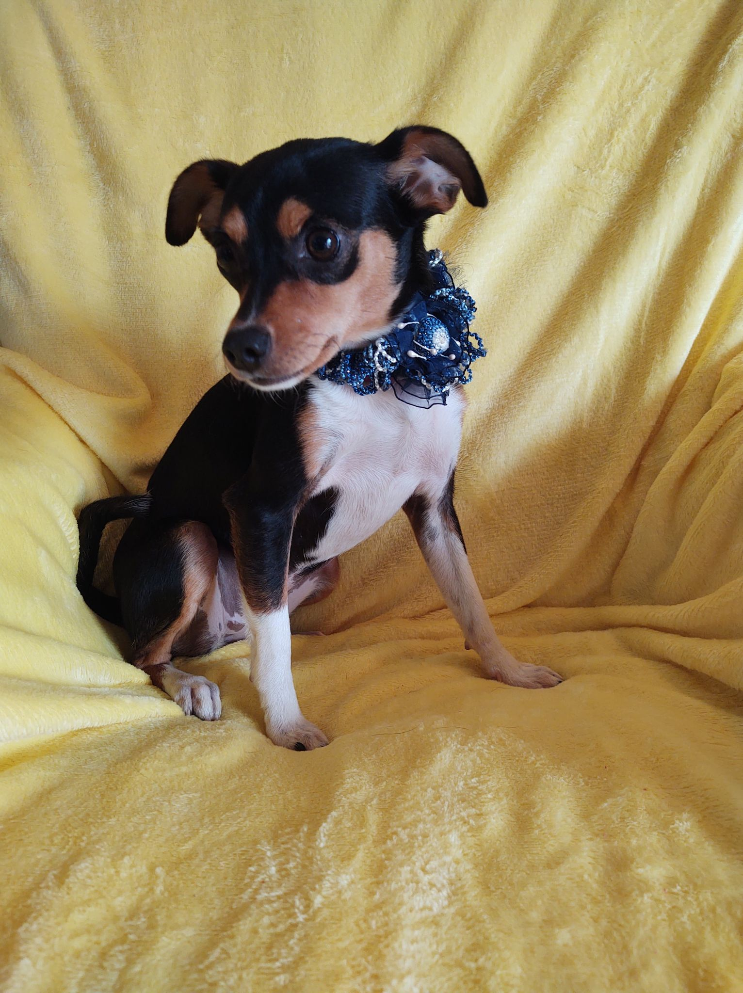 Maggie May-Chihuahua-PENDING