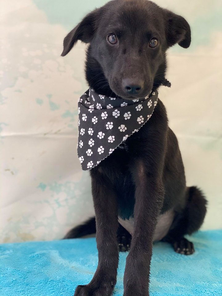 Raven-Lab mix- HAS BEEN ADOPTED