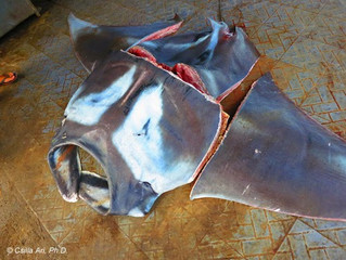 Indonesia, where manta rays thrive and die
