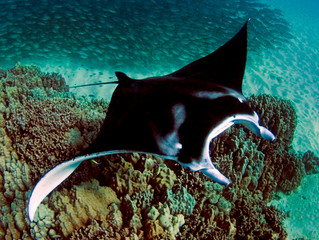 Manta Naturalist Course launched in Kona