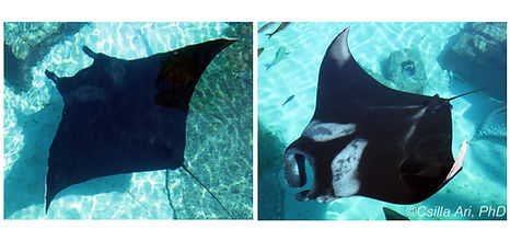 Paper - Rapid Coloration Changes of Manta Rays (Mobulidae)