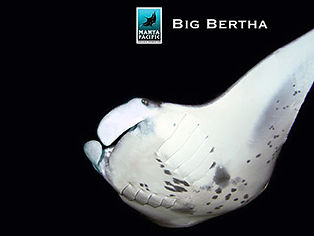 Adopt Big Bertha!