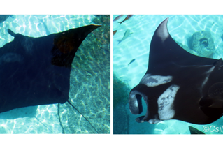 Manta rays do rapidly change their coloration!