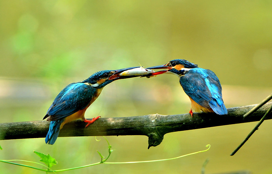 SMALL BLUE KING FISHER-Santosh  Kumar Ja